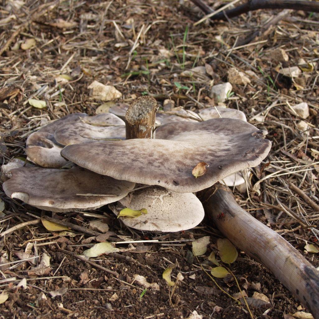 Funghi murgiani